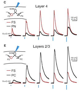 FS INs show larger inhibitory responses to SOM IN activation in layer 4, while pyramidal neurons show greater responses in layer 2/3.
