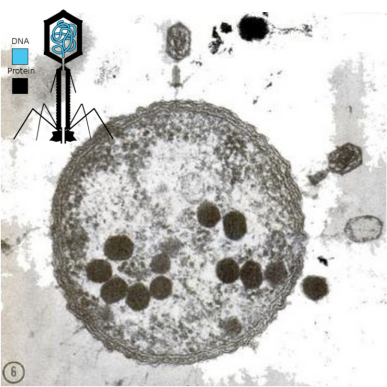 An electron micrograph taken by Anderson shows the T4 phage infecting an E. coli bacterium. The infecting virus stays attached by its tail the surface of the bacterium, as new virus is being produced inside the cell. Shown with diagram of T2 phage, with protein coat and DNA in the head.